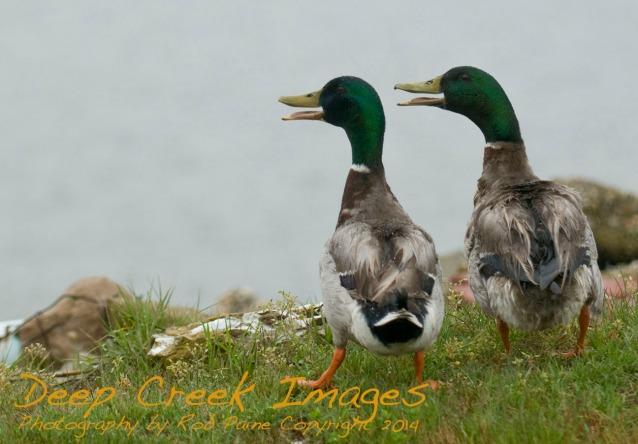 rob paine web ducks