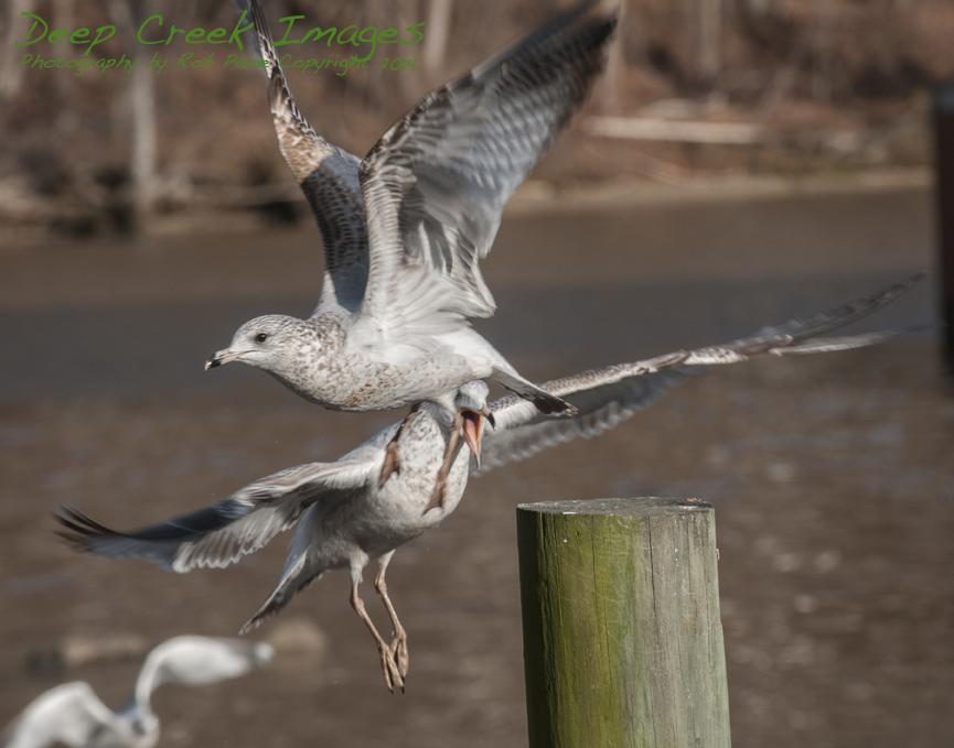 web birds occ rob paine four