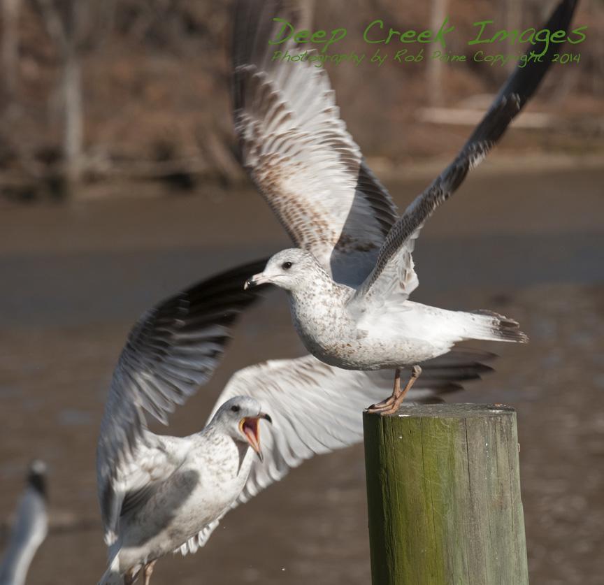 web birds occ rob paine one