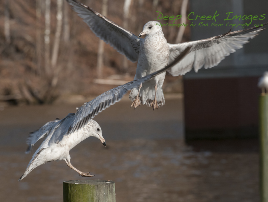 web birds occ rob paine three