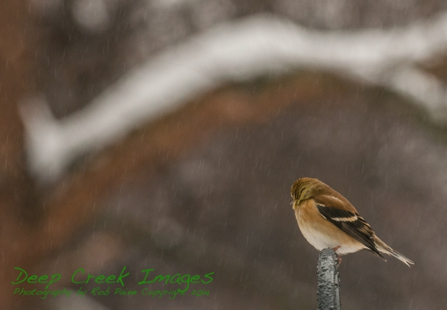 cold goldfinch