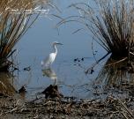 rob paine american egret s.c.