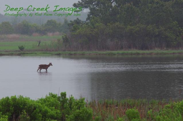 rob paine deer in rain