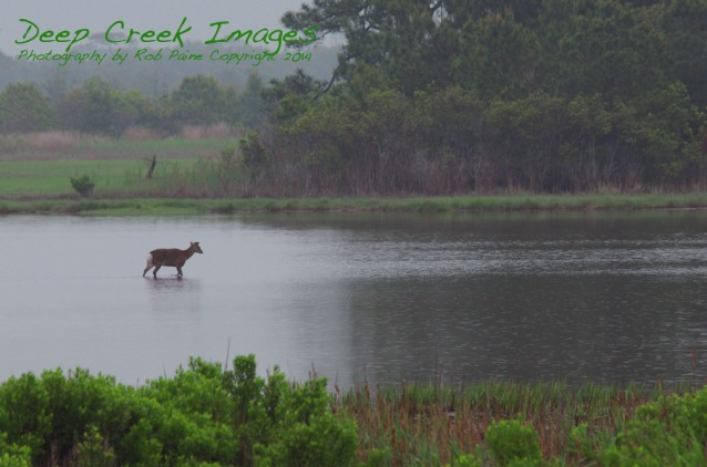rob paine deer in rain