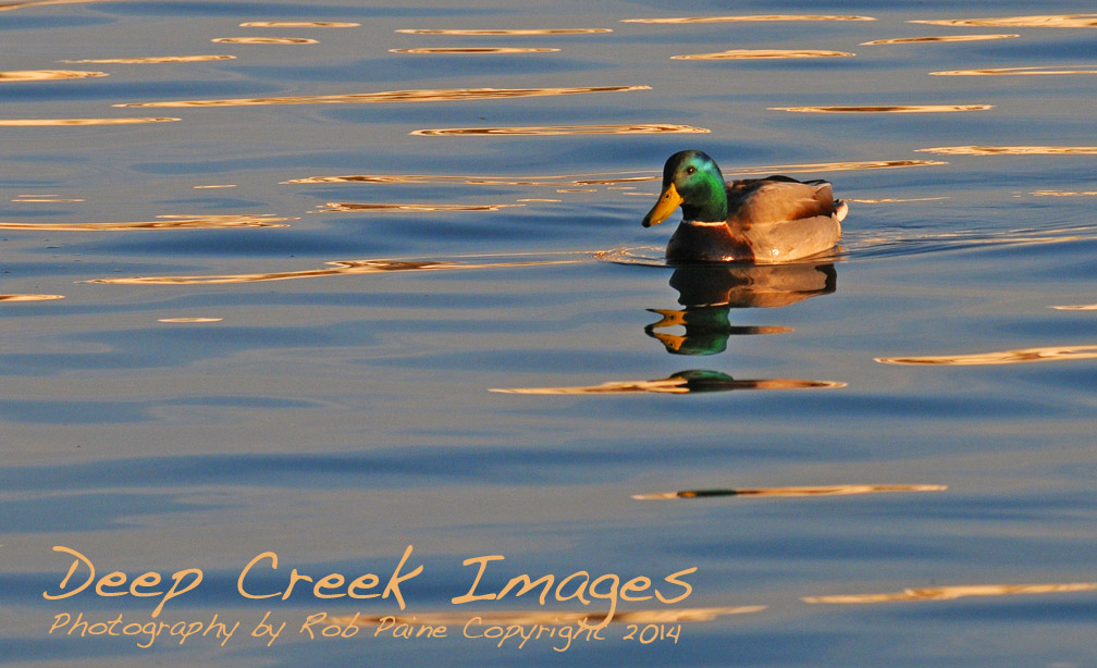 rob paine duck on potomac