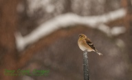 rob paine goldfinch