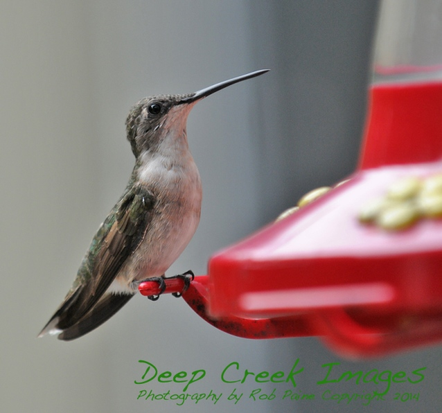 rob paine hummingbird
