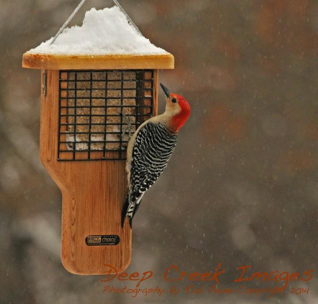 Rob Paine Winter Storm Pax Woodpecker