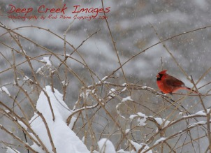 rob paine another cardinal in the snow