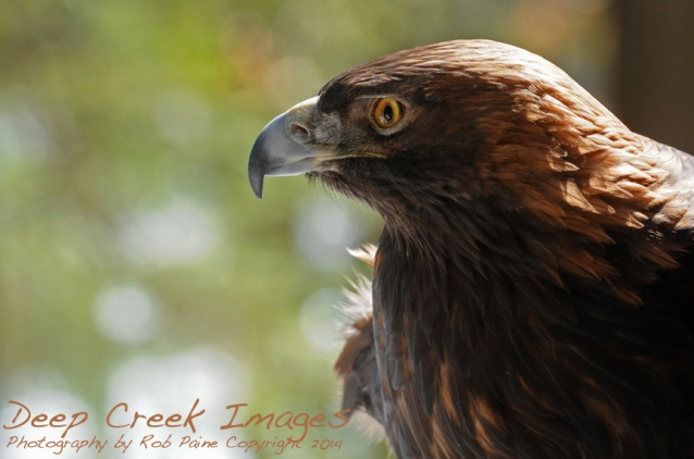 rob paine deep creek golden eagle