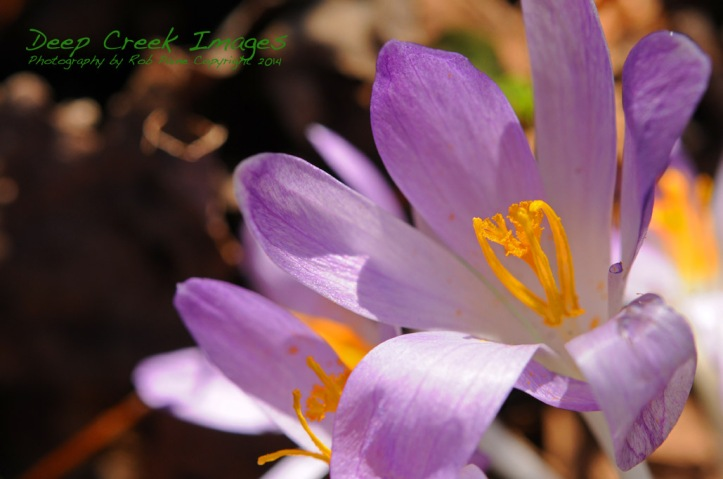 rob paine first spring crocus