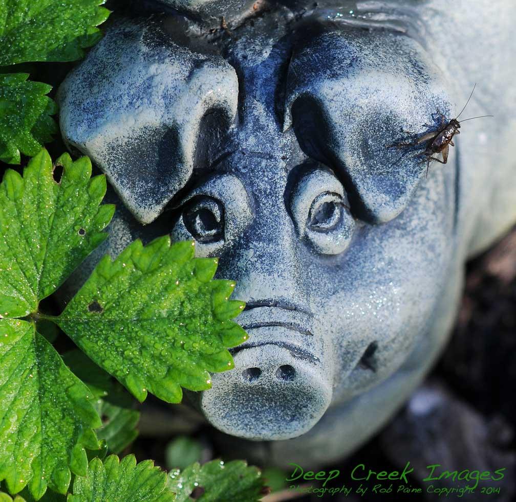 rob paine meadowlark pig
