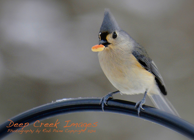 rob paine tufted titmouse