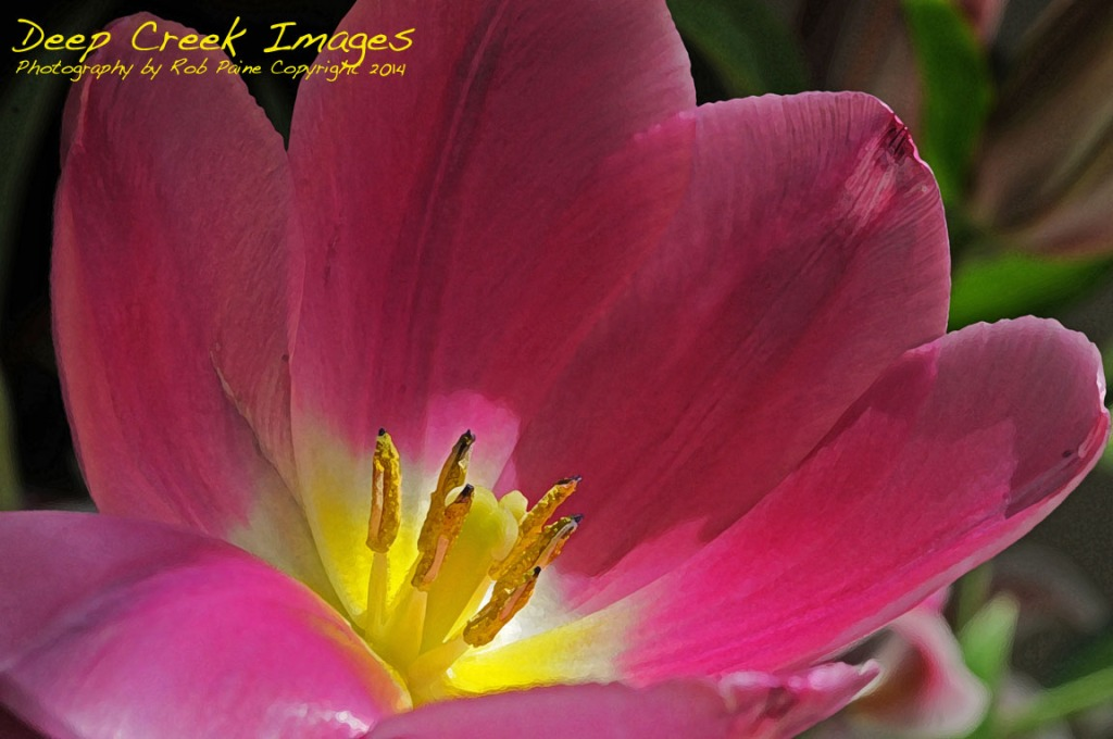 rob paine inside a tulip