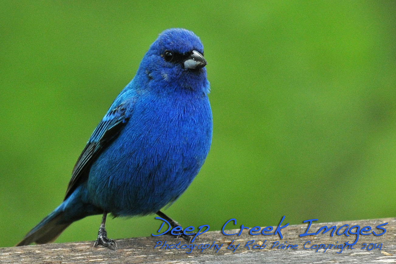 Indigo Bunting Wordless Wednes...