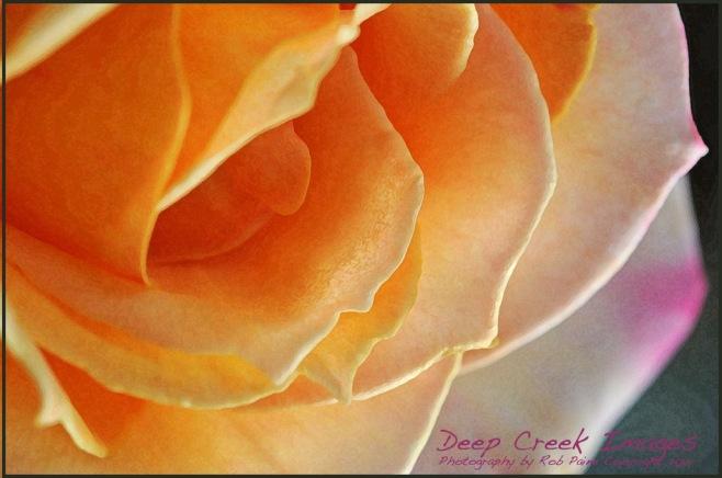 rob paine rose