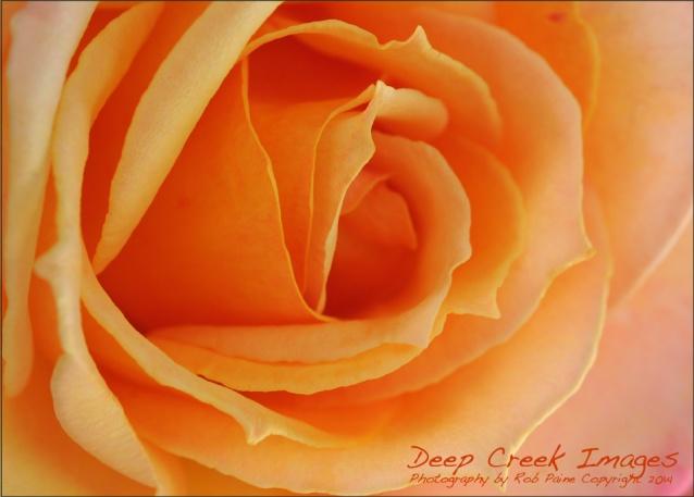 rob paine2 rose