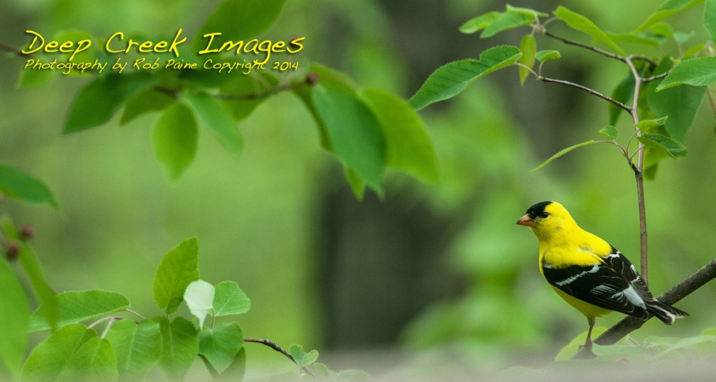 American Goldfinch Rob Paine