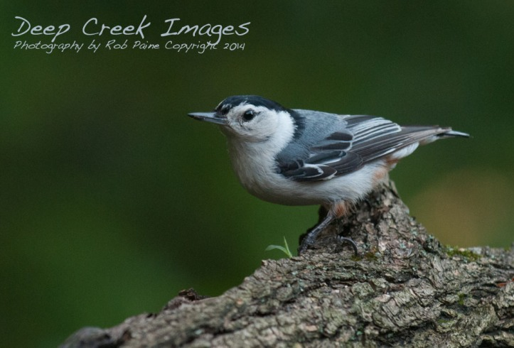 White-breasted Nuthatch by Rob Paine
