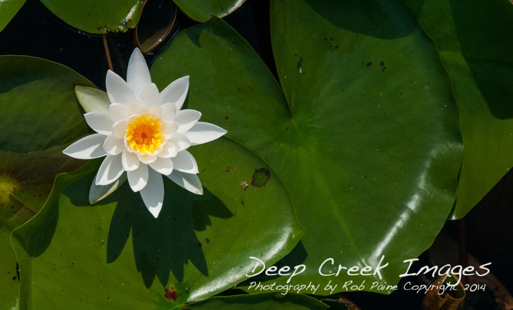 rob paine water lily copy