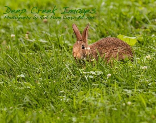 meadowlark bunny
