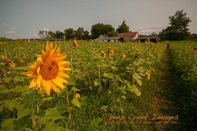 paine sunflowers