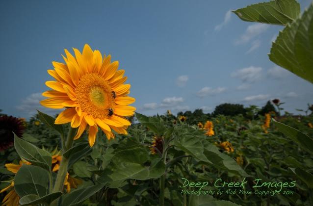 rob painbe sunflower field