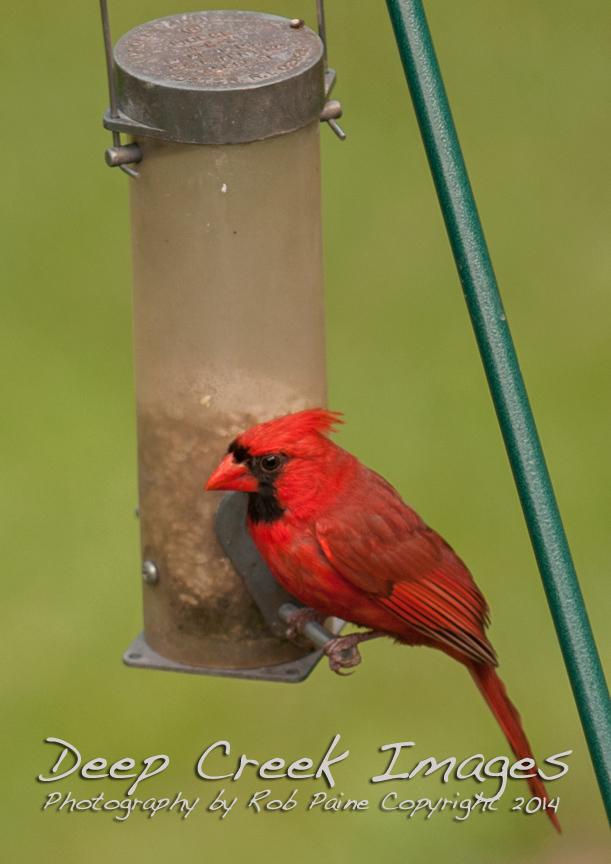 rob paine backard cardinal