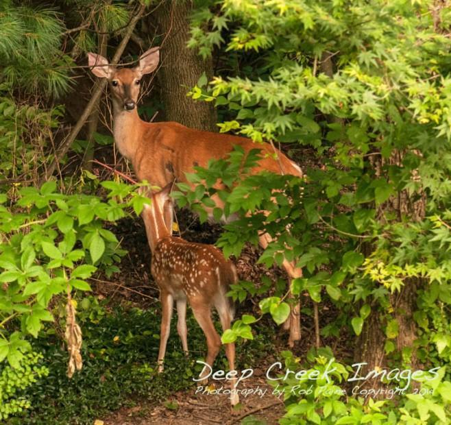 rob paine backyard deer one