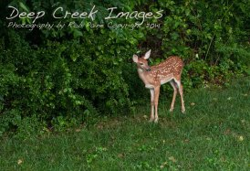 rob paine backyard deer two