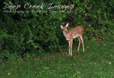 rob paine backyard deer two
