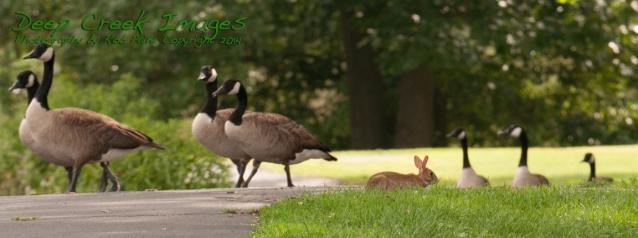 rob paine bunny among geese meadowlark