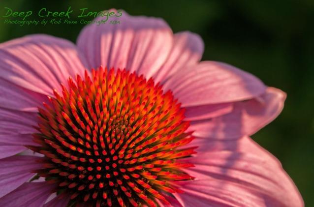 rob paine meadowlark blazing flower