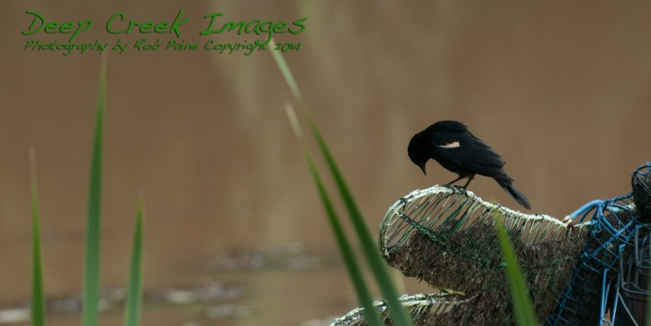 rob paine red wing black bird meadowlark
