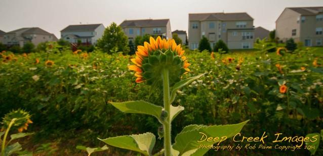 Rob Paine Sunflowers in Suburbia