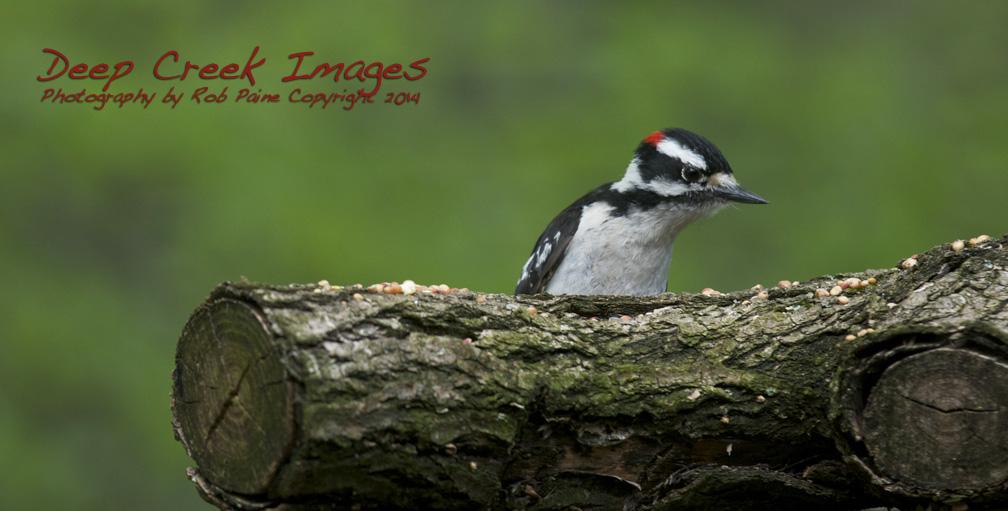 rob paine woodpecker