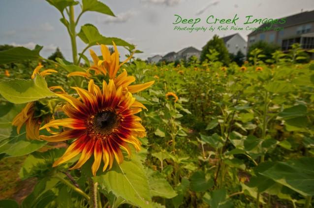 sunflowers in suburbia