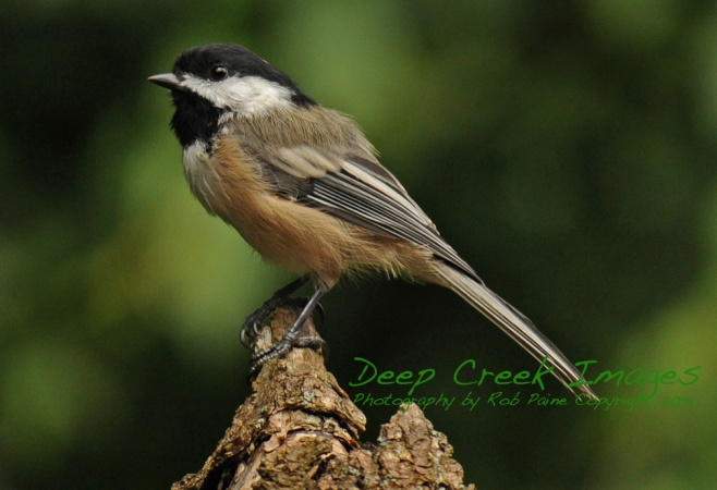 Black-capped chickadee Rob Paine 1