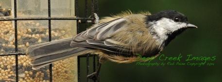 Black-capped chickadee rob paine