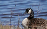 CANADA GOOSE CAPE MAY ROB PAINE