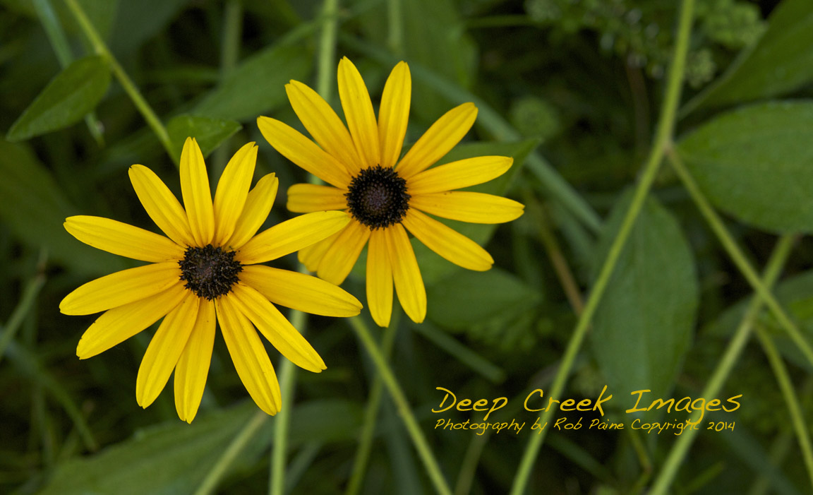 Backyard Black Eyed Susans I See Beauty All Around By