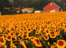 rob paine painted sunflower field