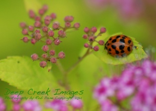 lady bug on pink