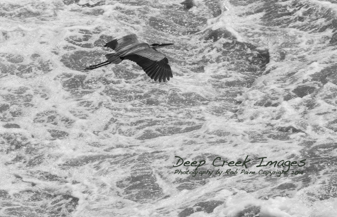 rob paine blue heron great falls