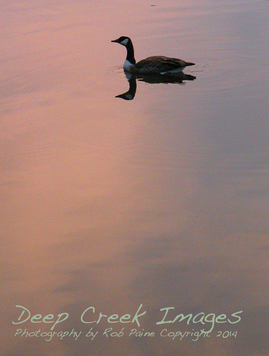 rob paine canadian goose at twilight