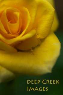 rob paine yellow rose