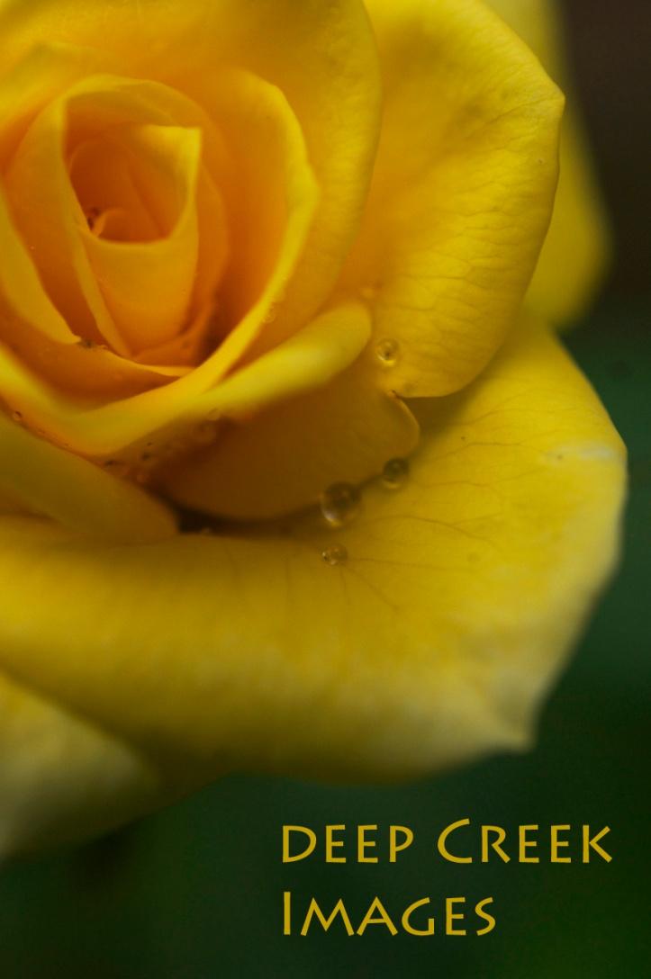 rob paine yellow rose