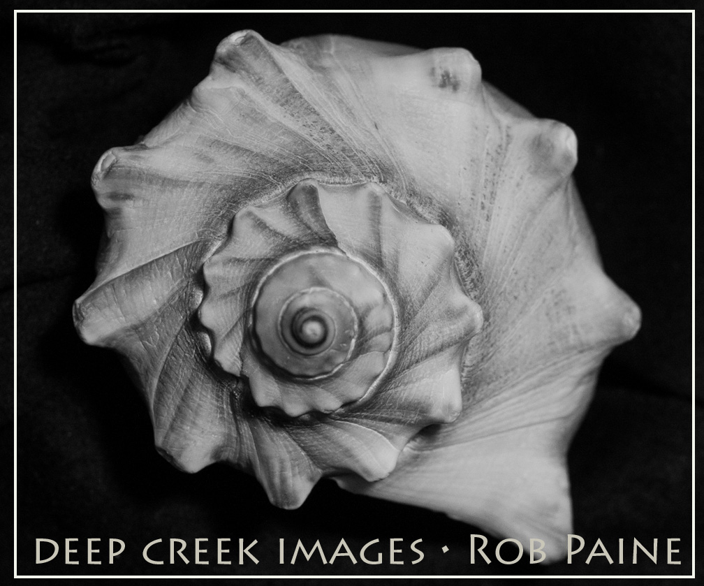 A shell in black and white i see beauty all around by rob paine