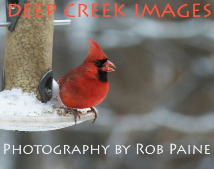 Rob Paine Male Cardinal in Snow