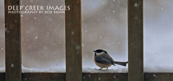rob paine carolina chickadee on the porch